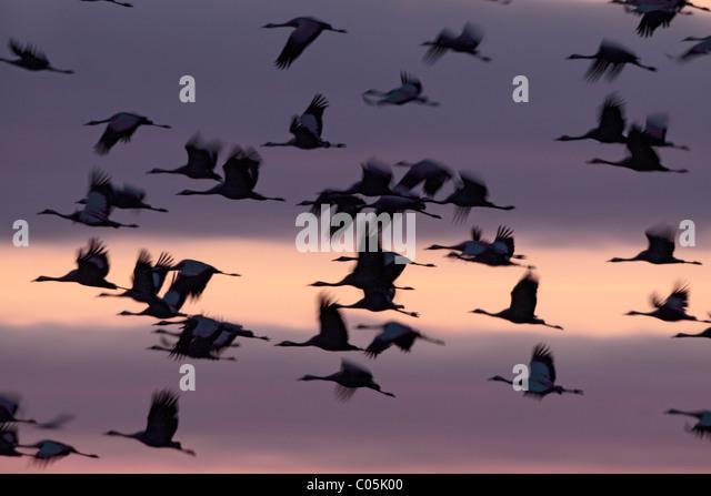Common Cranes  in spring,  Lake Hornborgasjoen, Sweden - Stock Image