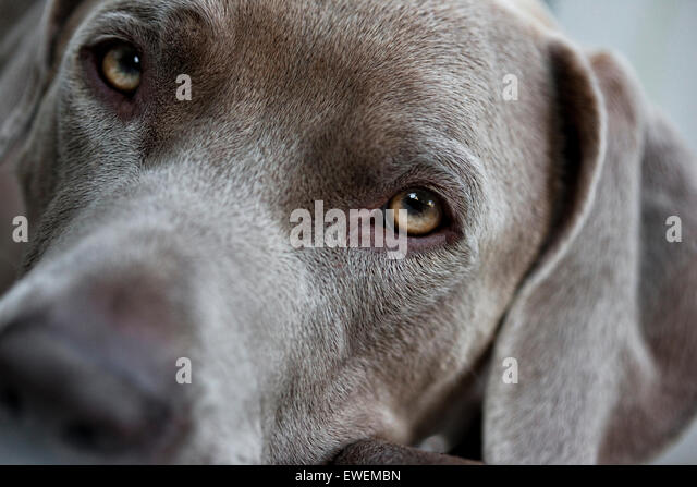 extreme close up portrait of a Weimaraner dog soulful face looking directly into camera - Stock Image
