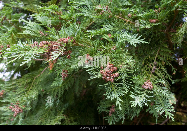 Lawsons-Scheinzypresse, Lawsons Scheinzypresse, Zypresse, Chamaecyparis lawsoniana, Lawson´s Cypress, Lawson - Stock Image