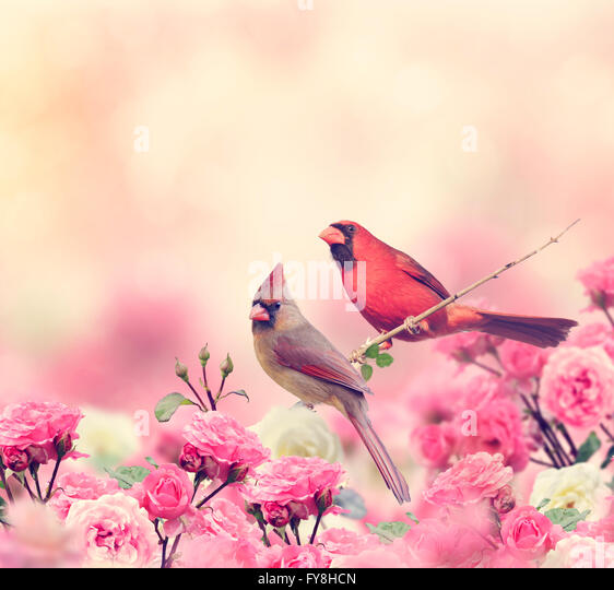 Male and Female Northern Cardinals Perching in the Garden - Stock Image