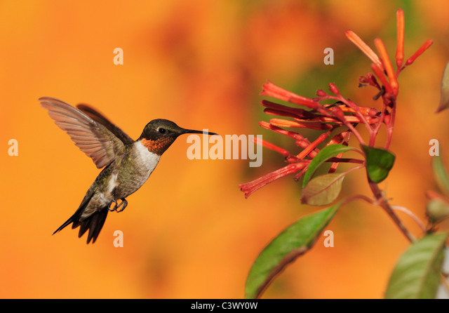 Ruby-throated Hummingbird (Archilochus colubris), male in flight feeding on Firebush (Hamelia patens) flower, Texas - Stock Image