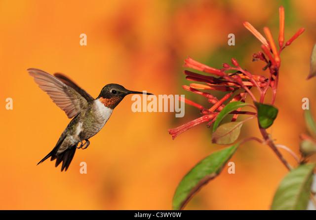 Ruby-throated Hummingbird (Archilochus colubris), male in flight feeding on Firebush (Hamelia patens) flower, Texas - Stock Image