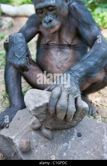 Bonobo Chimpanzee at the Sanctuary Lola Ya Bonobo, Democratic Republic of the Congo - Stock-Bilder