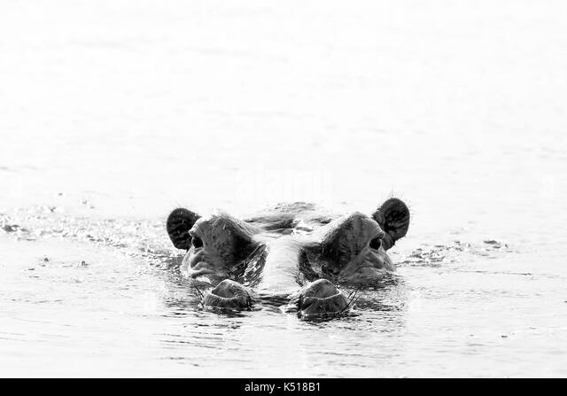 Hippopotamus (Hippopotamus Amphibius) in the Water, looking over the Surface. Black and white picture. Lake Mburo, - Stock Image