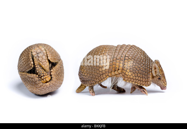 Three-banded armadillo (Tolypeutes tricinctus) Captive - Stock-Bilder