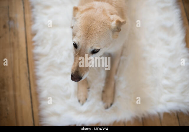 Dog lying on fluffy rug, elevated view - Stock Image
