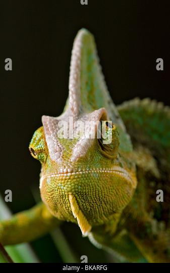 Male veiled or Yemen chameleon shows independent eye movement, - Stock Image
