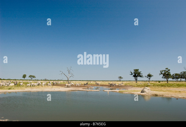 Savuti Marsh with zebras - Stock Image