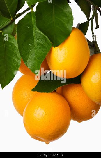Bunch of fresh oranges hanging against white background. - Stock Image