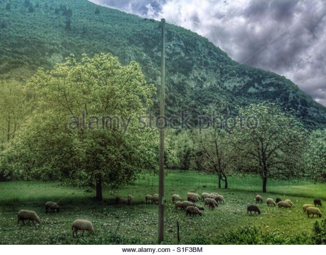 Sheep eating grass' - Stock Image
