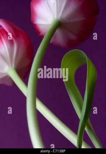 Tulipa, Tulip, Pink flower subject, Purple background - Stock Image
