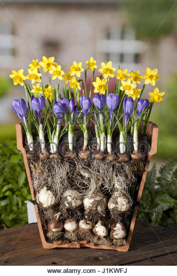 LAYERED BULBS (NARCISSUS AND CROCUS)  LASAGNE METHOD OF PLANTING - Stock Image