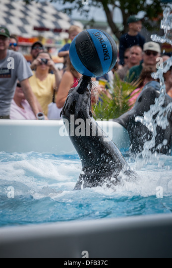 Trained seal stunts, Great New York State Fair - Stock Image