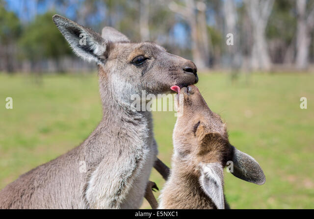 Mother Kangaroo and Joey - Stock-Bilder