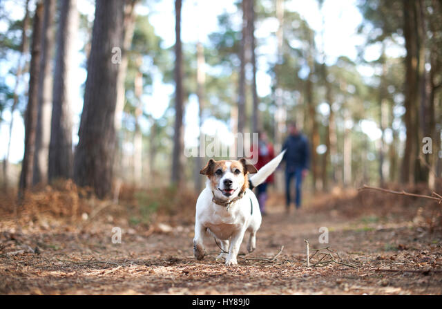 A young couple walk their dogs in the woods - Stock Image