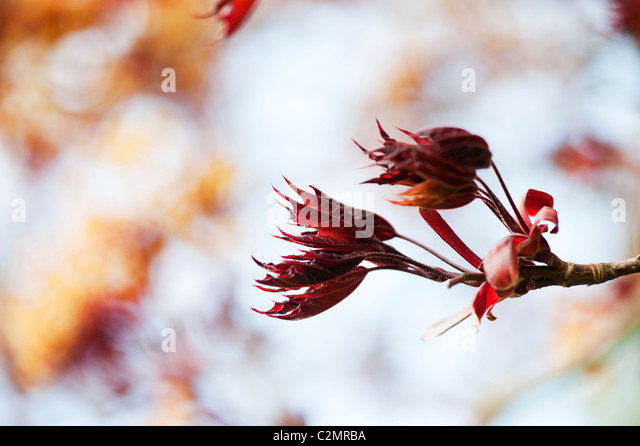 Acer Platanoides, Goldsworth purple. Norway Maple tree - Stock Image