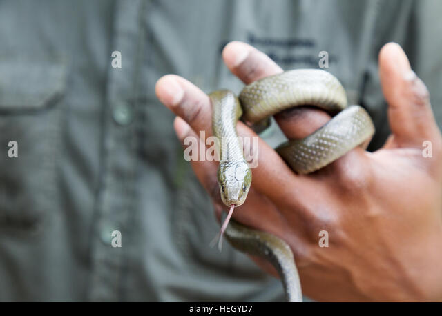 Snake handler handling a non-venomous Cape House snake, South Africa - Stock Image
