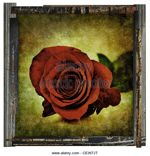 framed red rose - Stock Image
