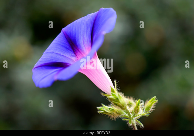 Morning glory, blue flower, royal blue, creeper, flower, flowers, close-up, close up, focus, macro, profile, white, - Stock Image