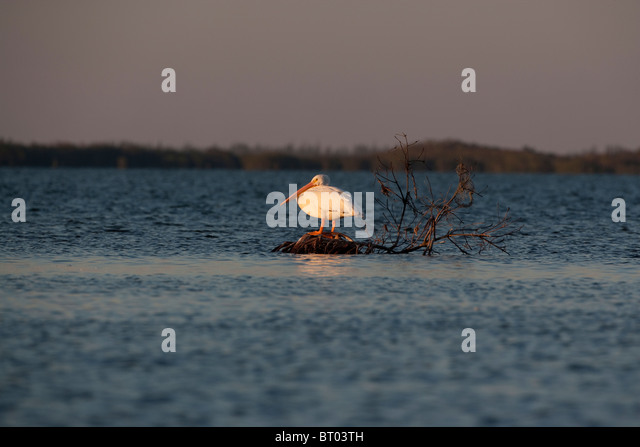 White Pelican on a rock in the water - Stock Image