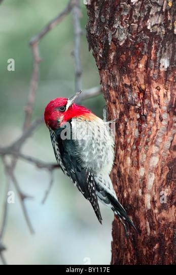 Red-breasted Sapsucker - Stock-Bilder