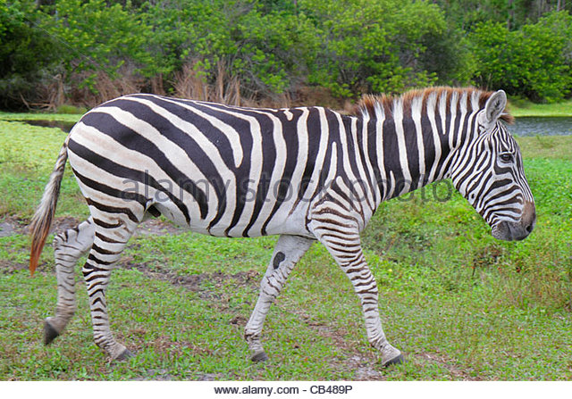Florida West Palm Beach Loxahatchee Lion Country Safari drive-through wild animals African Grant's zebra equus - Stock Image