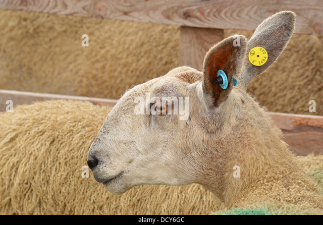 Sheep head profile