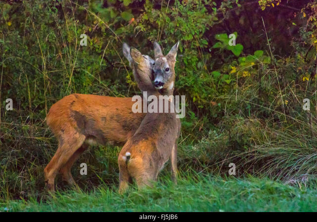 roe deer (Capreolus capreolus), two juvenile roe deers stand in a meadow at forest edge sniffing, Switzerland, Sankt - Stock Image