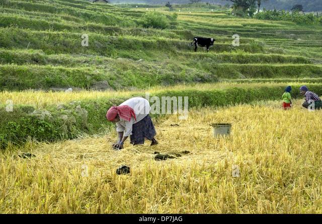 Maraiyur India  City pictures : ... terraced rice fields Kanthalloor Marayur Idukki District Kerala India