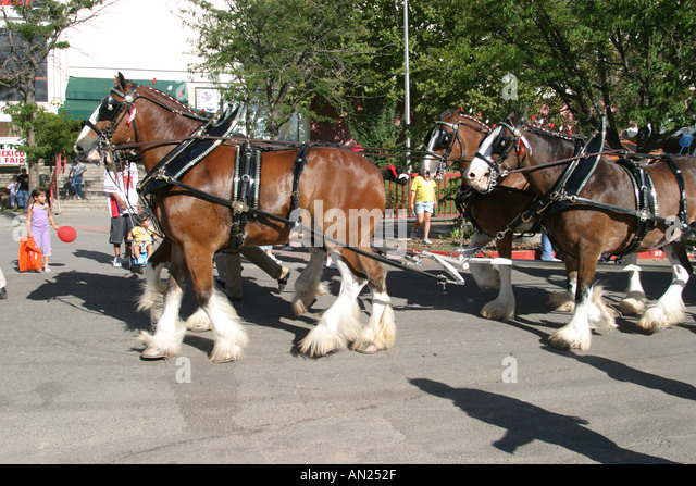Albuquerque New Mexico State Fair Budweiser Clydesdales W - Stock Image