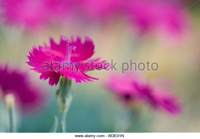 Dianthus 'Neon star' flowers in a garden - Stock Image