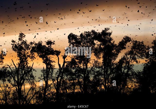 Fruit Bats Stock Photos Amp Fruit Bats Stock Images Alamy