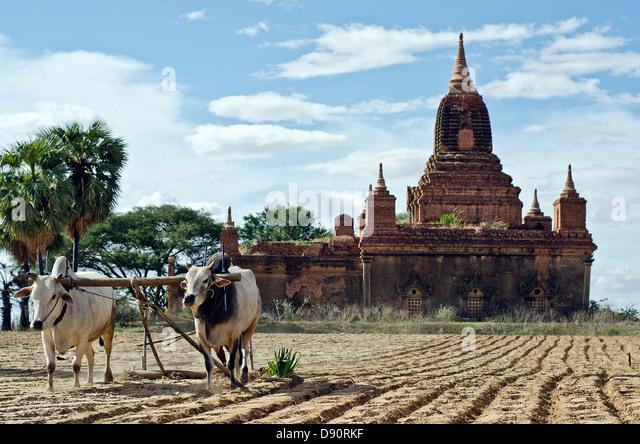 Plowing,Bagan countryside,Burma - Stock Image