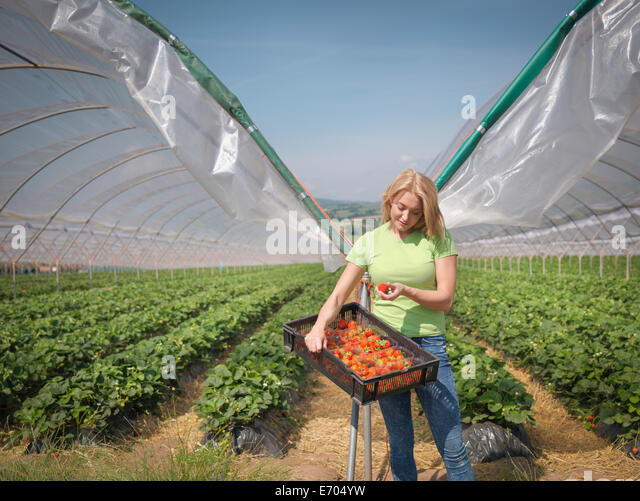 Worker checking strawberries on fruit farm - Stock Image