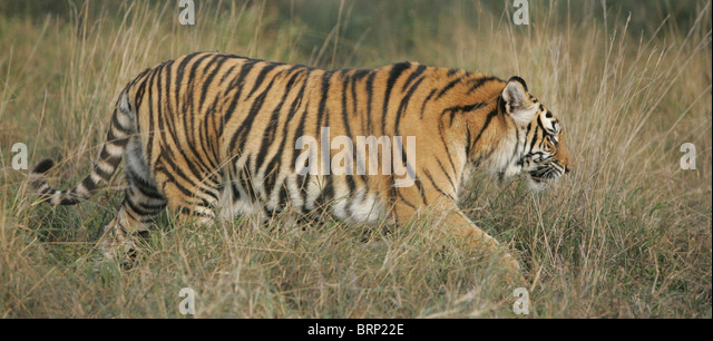 Side view of an Amur Tiger walking through dry grass - Stock Image