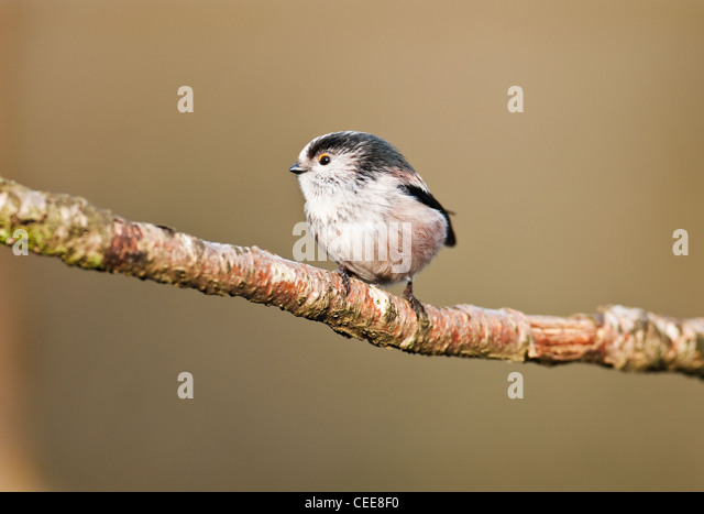 A long-tailed tit Aegithalos caudatuson a branch in a Lancashire woodland United kingdom. - Stock Image
