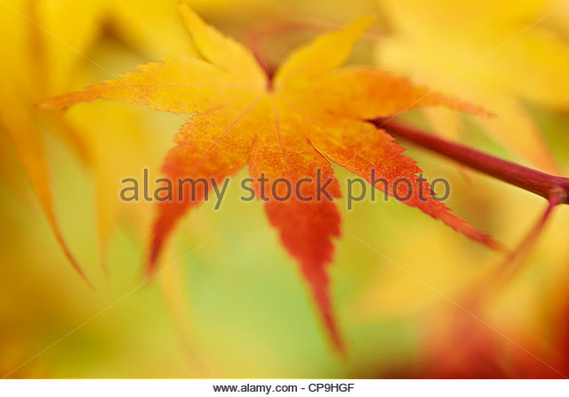 autumn,autumn leaves,beauty in nature,change,close up,color image,colorful,day,detail,focus on - Stock Image