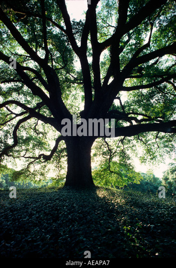 A graphic photograph of an old oak tree - Stock Image