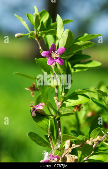 Leaves and flower of a Wolfberry (Lycium barbarum) bush. - Stock Image