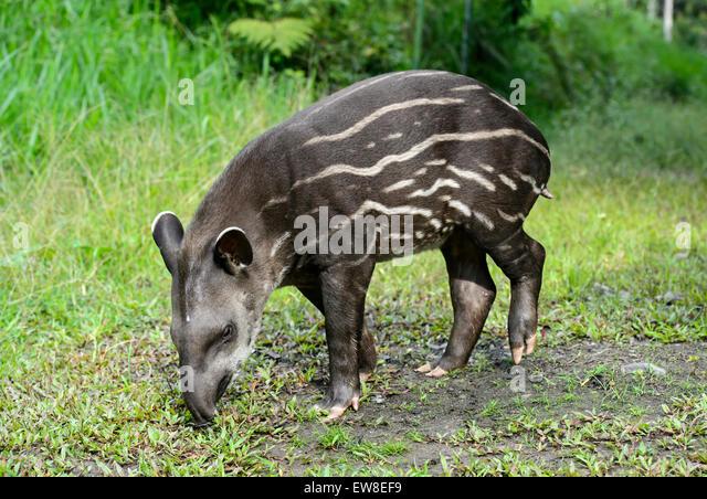 Juvenile Amazonian tapir (Tapirus terrestris), Tapir family (Tapiridae), Amazon rainforest, Yasuni National Park, - Stock Image