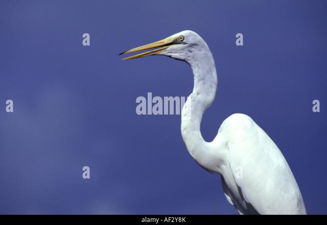 Florida birds great egret portrait against blue sky - Stock Image