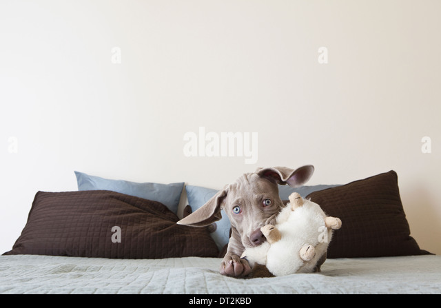 A Weimaraner puppy playing on a bed with stuffed toy in its mouth - Stock Image