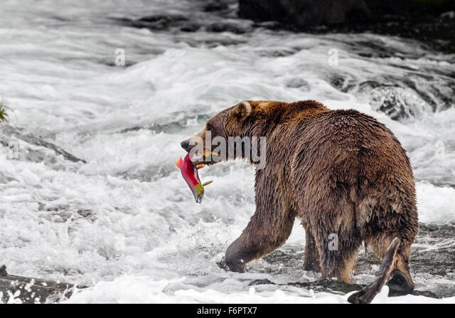 Male brown bear catching spawning red salmon at Brooks Falls, Katmai National Park, Alaska - Stock-Bilder