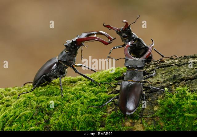 Stag Beetle (Lucanus cervus). Three males wrestling over female on mossy oak in woodland habitat, Netherlands. - Stock-Bilder