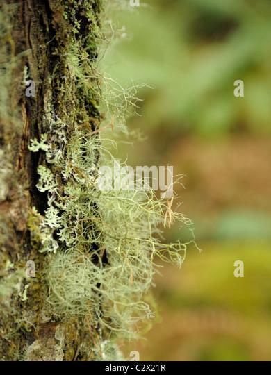 Usnea fragilescens, the Fragile beard lichen - Stock Image