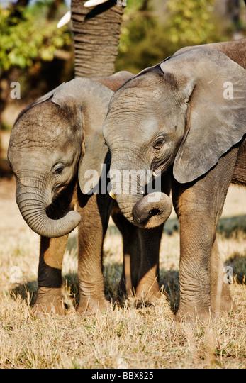 African elephant Loxodonta africana Young calfs interacting South Africa Dist Sub Saharan Africa - Stock Image