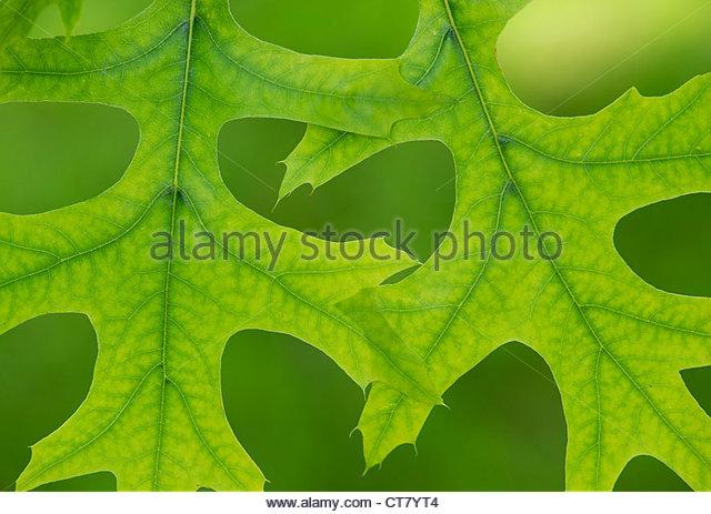 Quercus palustris. Pin oak leaf pattern - Stock Image
