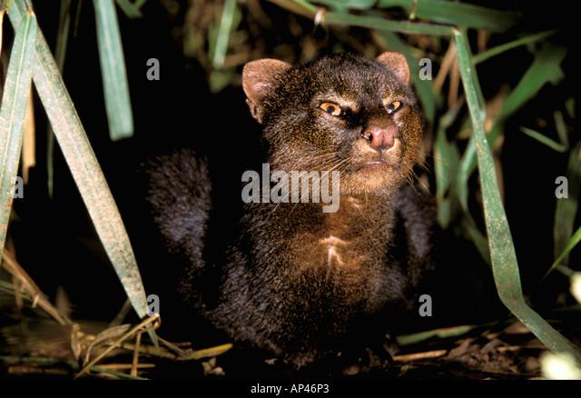 South America, Ecuador, Amazon. Jaguarundi (Herpailurus yaguarondi) - Stock Image