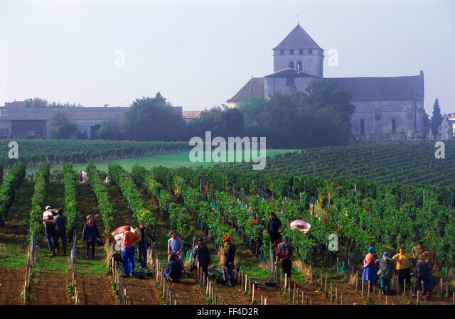 Harvesting grapes in Bordeaux vineyards near St Emilion France - Stock Image