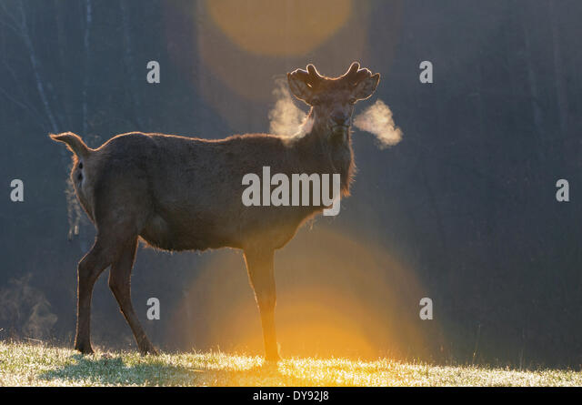 Red deer antlers antler Cervid Cervus elaphus deer stag stags hoofed animals European deer spring velvet animal - Stock Image